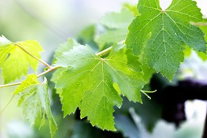 Grapevine leaves with raindrops