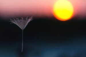 Umbrella of dandelion at sunset