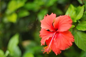 HAWAIIAN FLOWER