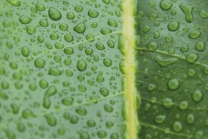 Water drops in a leaf