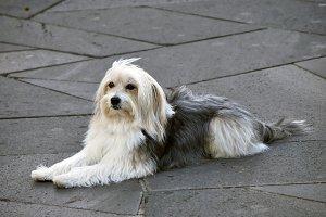 Lying dog catalan sheepdog