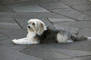 Lying dog