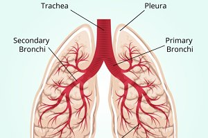 Structure of the lungs