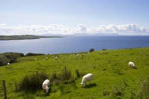Sheep in the coast of Ireland