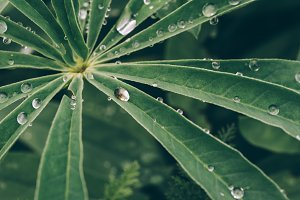 Water Drops on Leaves in Summer