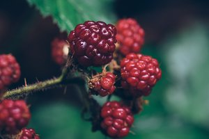 Ripe Raspberries on the Bush