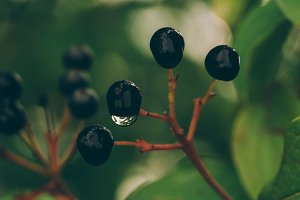 Wet Berries on the Bush after Rain