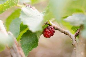 Fresh blackberry.