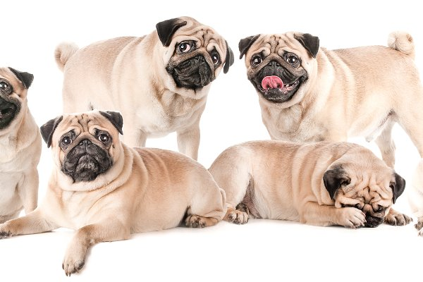 Many Dogs Pugs Isolated Collage High Quality Animal Stock Photos Creative Market