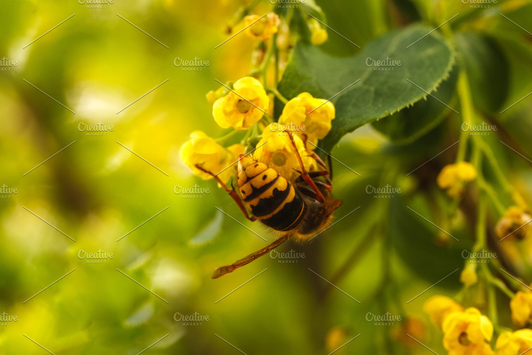 Spring Blooming Yellow Bush Bee High Quality Nature Stock Photos