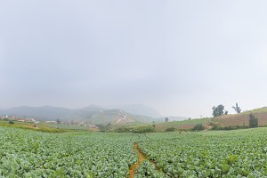 Panorama cabbage cultivation area