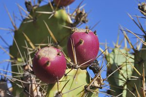 Prickly pears ficus indica