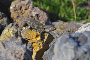 tizon lizard