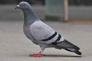 Portrait of a pigeon