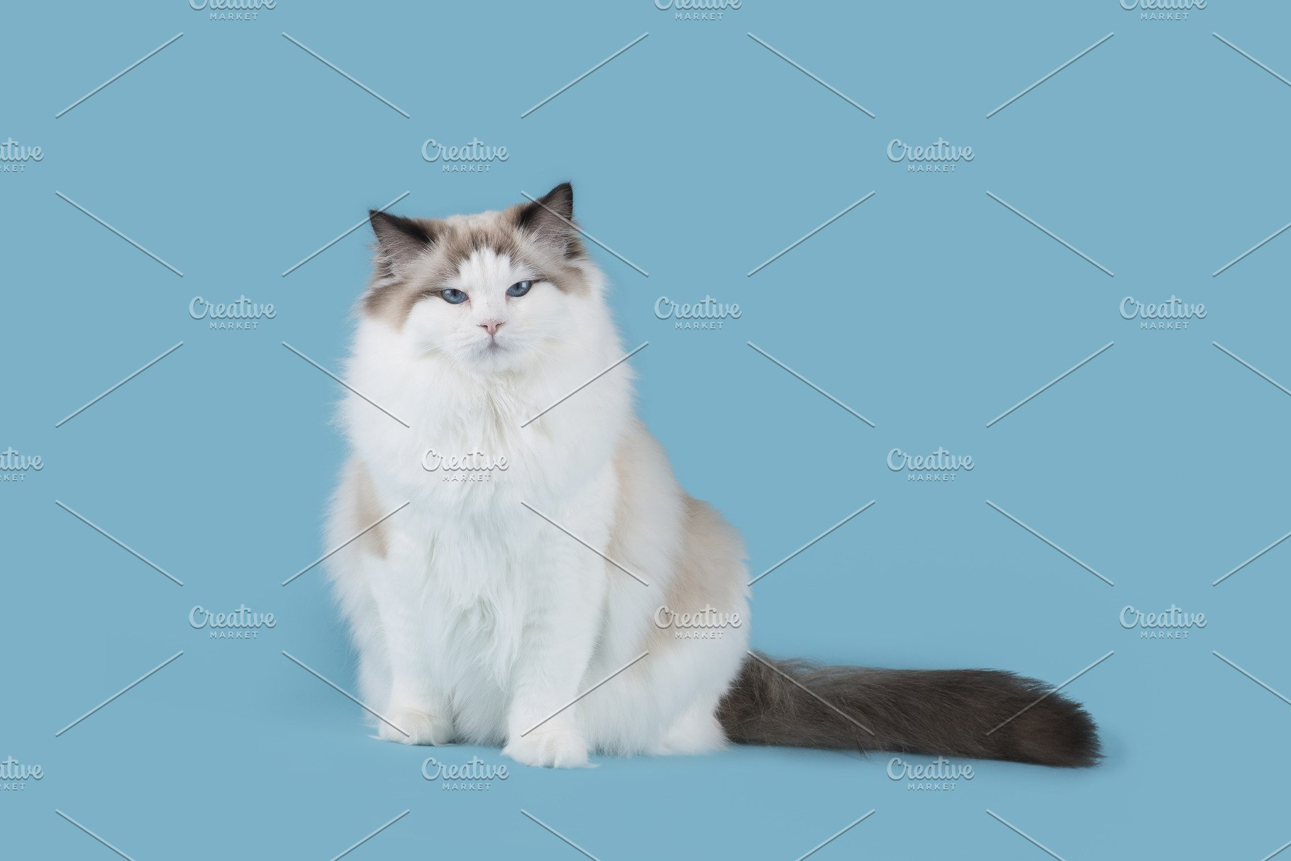 Ragdoll Cat Sitting On Blue Animal Photos Creative Market