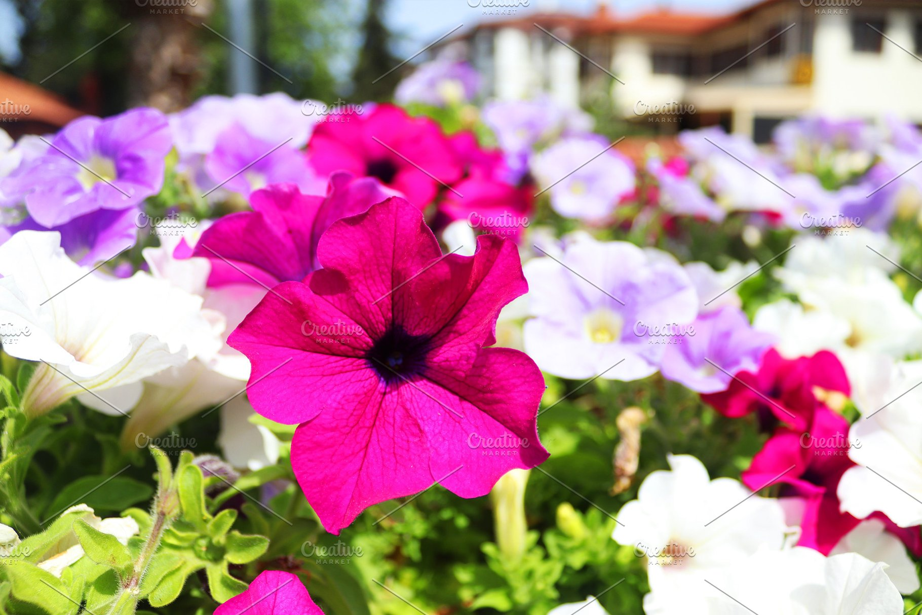 Beautiful Petunia Flowers Wallpaper High Quality Nature Stock