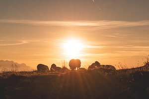 Sheeps enjoying beautiful sunset
