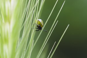 Wheat with a ladybird
