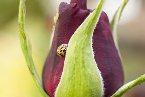 Rose with a yellow ladybird
