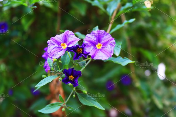 Nightshade Flower