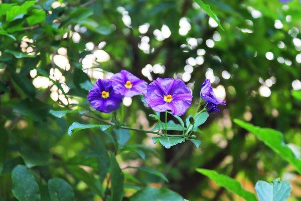 Nightshade Flower