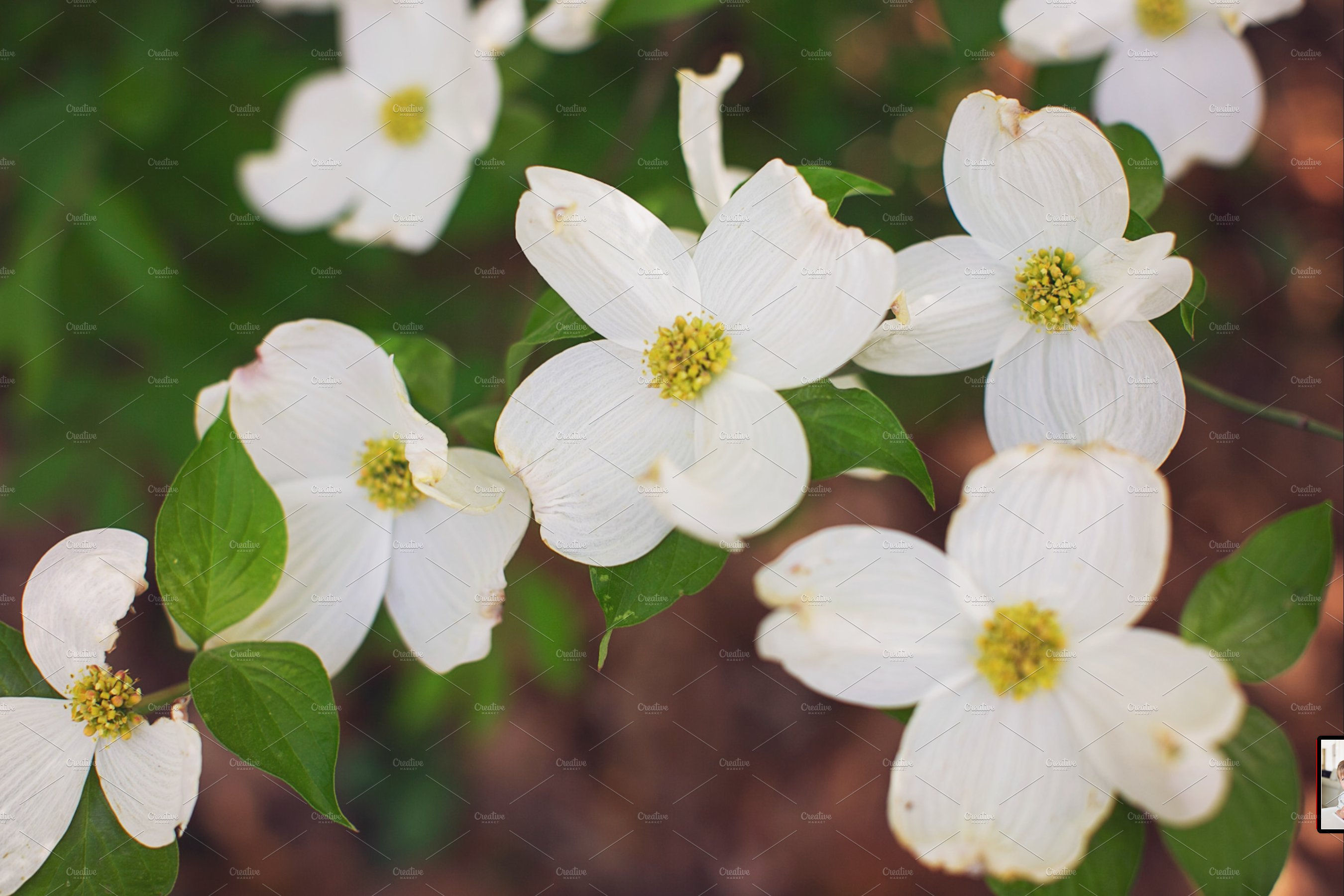 Dogwood Tree White Flowers High Quality Nature Stock Photos