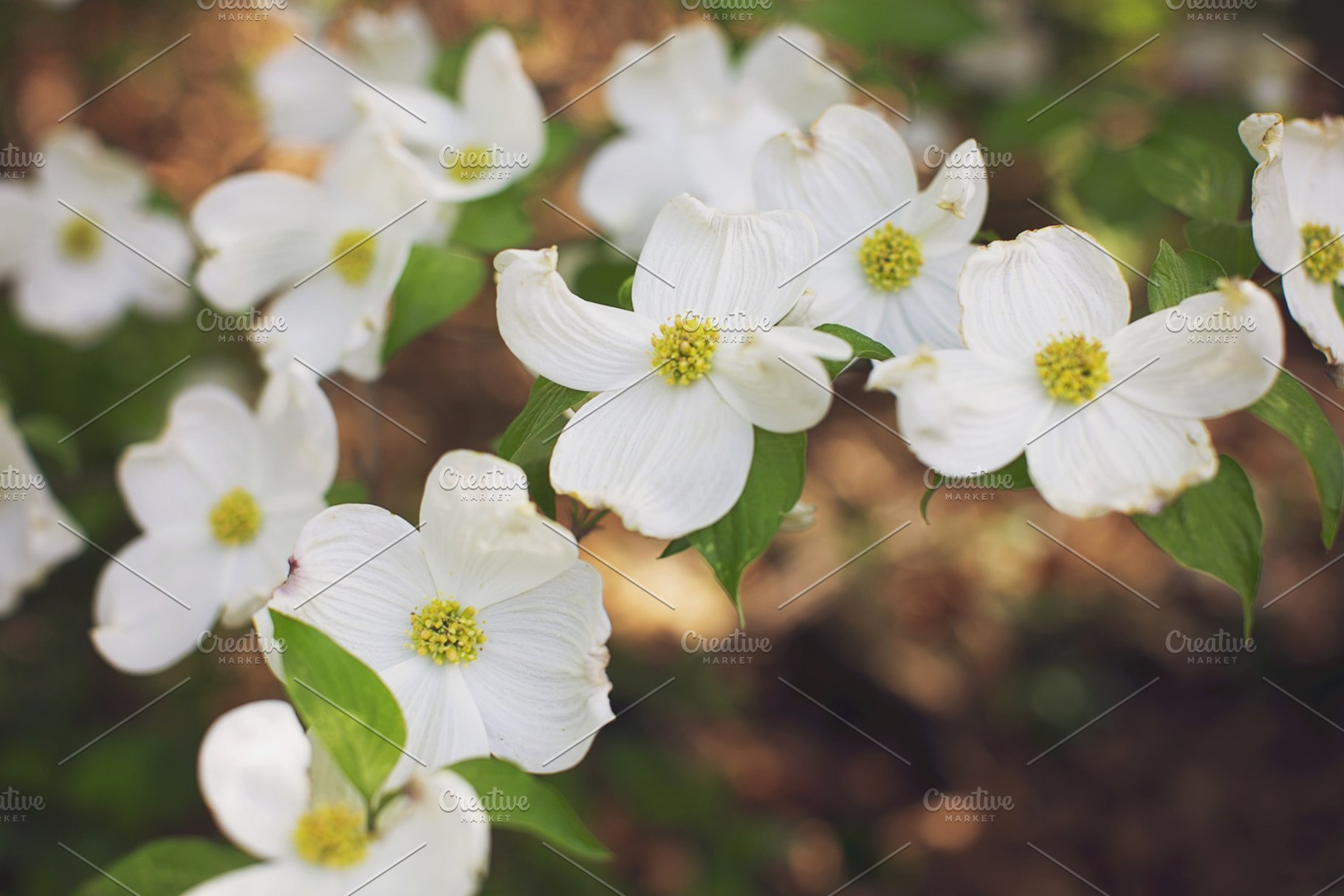 White Dogwood Tree Blossoms High Quality Nature Stock Photos