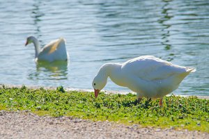 White goose eating