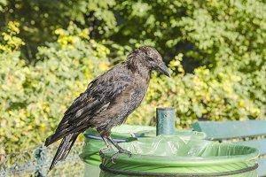 Crow in a bin