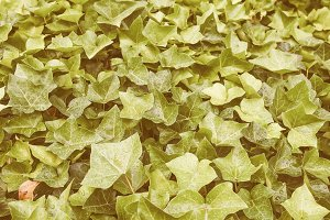 Vintage ivy background