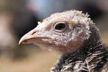Head shot of wild turkey. Portrait by  in Animals