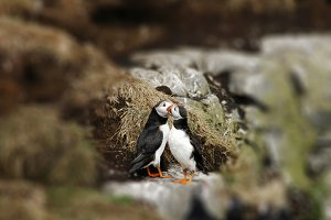 Two puffins in love