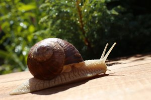 big snail close-up on the wooden desk