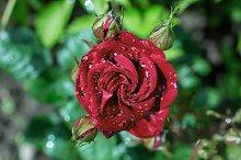 close up macro view of red rose petals