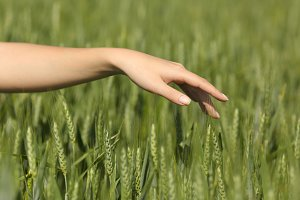 Woman hand touching softly wheat in a field.jpg
