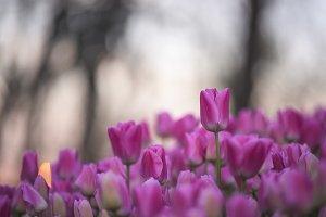 Tulip flowers