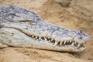 Nile Crocodrile