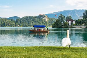 Swan looking at people sailing
