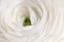 Ranunculus flower by  in Nature