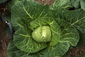 Conical cabbage