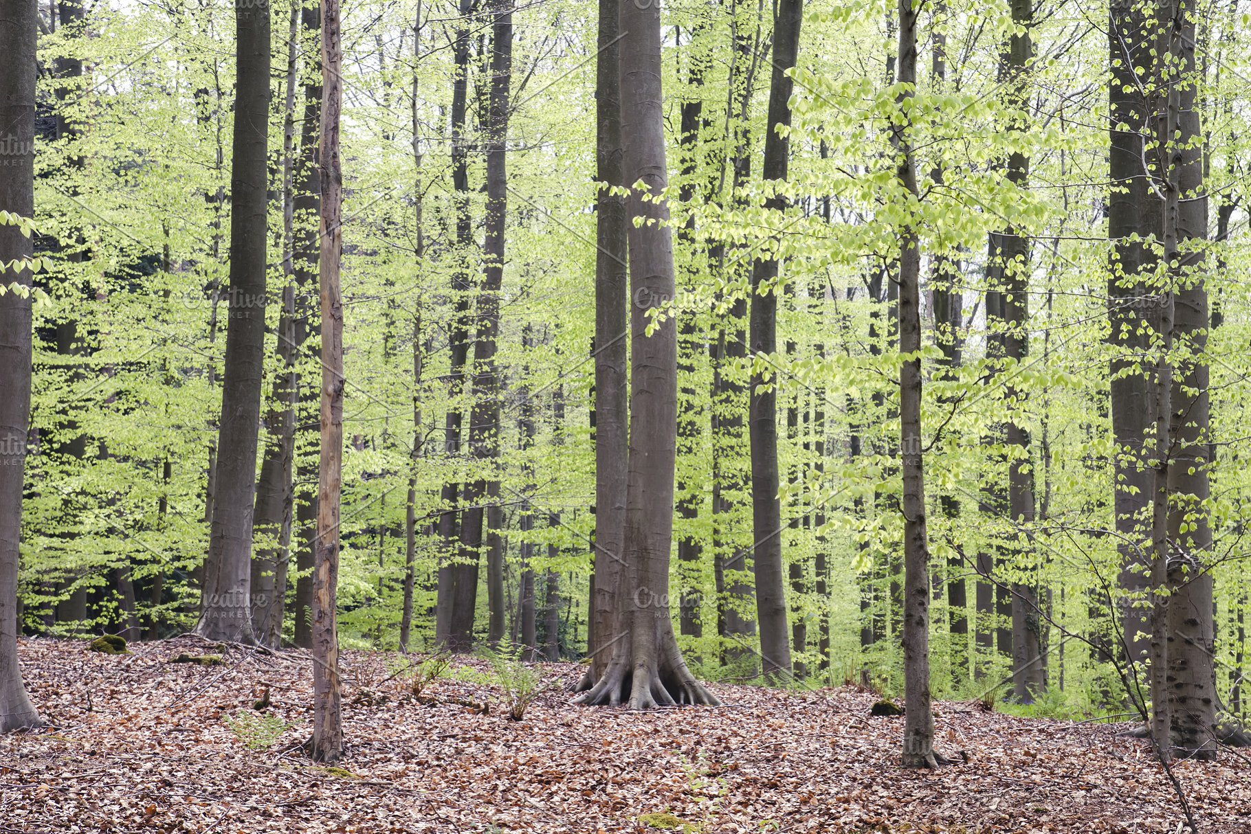 Green Beech Trees Woodland In Spring High Quality Nature Stock