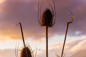 Thistle in the fields at sunset