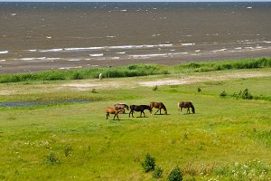 Five horses grazing near the sea