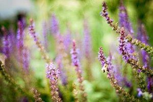 Bee on Purple Wildflower