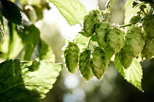 Hops in the Sunshine