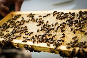 Bees on Honeycomb - Macro