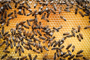 Bees on Honeycomb Macro 1