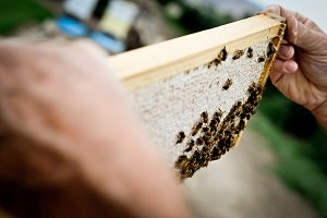 Beekeeping - examining a honey frame