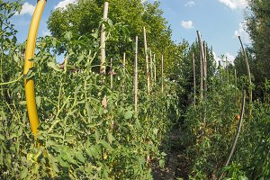 Vegetable garden with tomatoes