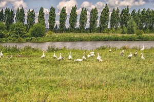 White geese in summer